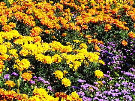 Background in yellow and violet flowers and green young plant nettles