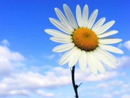 Meadow flower with white petals against the blue sky Stock Photo