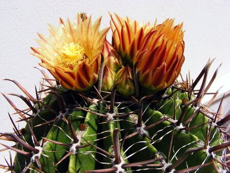 Cactus with large thorns and flowers of orange in the rays of the sun