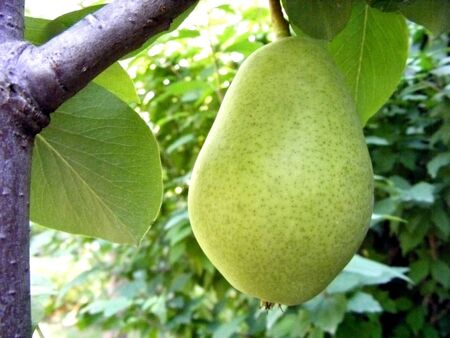 Pear fruit hanging on a tree branch with green leaves