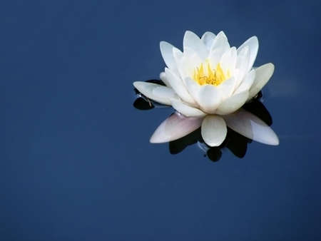 Blooming Water lily with white petals isolated on blue background