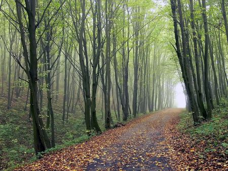 forest path: The road in the woods among the trees with fallen leaves in autumn Stock Photo