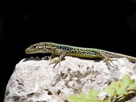Animal lizard sitting on a rock behind a black background Stock Photo