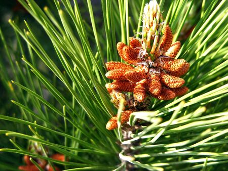 Bunch of pine cones on a branch of wood in sunny day