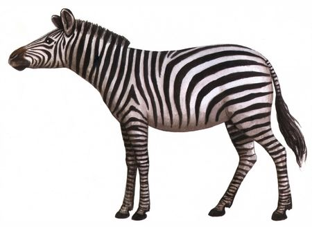 Drawing on paper animal zebra isolated on a white background