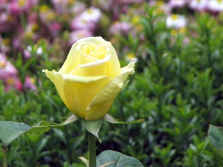 Unblown bud of a yellow rose on a background of green plants