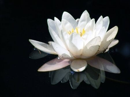 Blooming Water lily with white petals isolated on black background