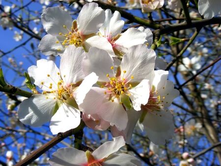 Flowering almond tree white flowers on the branches against the blue sky