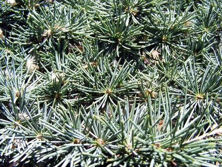 Branchs ate with long pine needles illuminated by sunlight