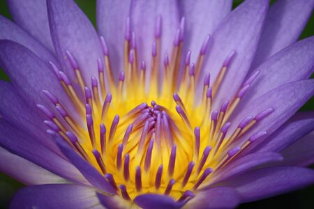 Colorful Water Lily Lotus photo
