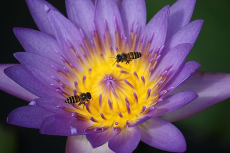 Two working bees flying on top of a purple color water lily photo