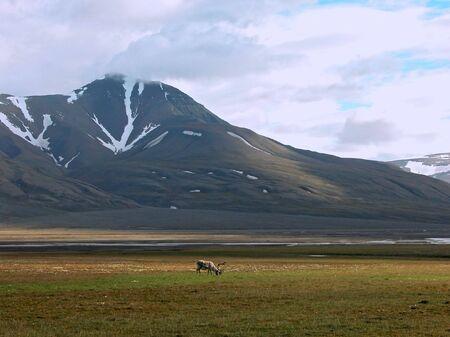 Grazing reindeer in tundra near mountains of Spitsbergen           photo