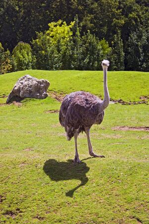 The ostrich in open field of zoo Beauval, France Stock Photo - 6045285
