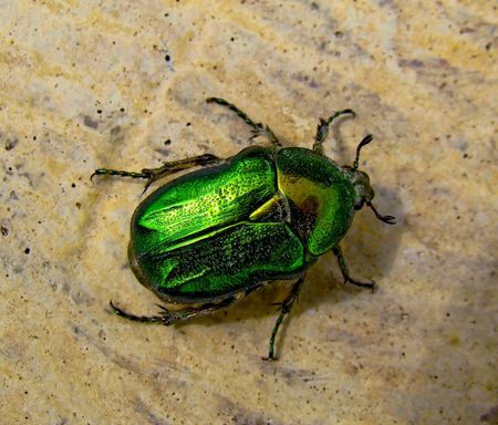 scarab: The Flower Chafer is a beautiful, shiny, emerald green, and quite large beetle.
