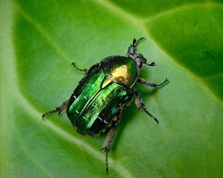 arthropoda: The Flower Chafer has the most beautiful colour with an almost iridescent quality.