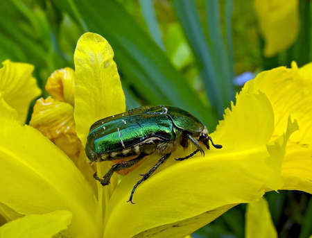 The Flower Chafer is a beautiful, shiny, emerald green, and quite large beetle. photo