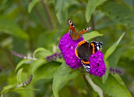 admiral: Two Butterflies on honey plant