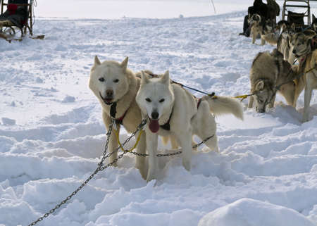 Trail Sled Dog Race in Sweden photo