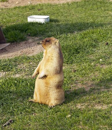 bajo y fornido: Marmotas se adaptan bien a la vida en ambientes fr�os y tienen peque�as orejas peludas, piernas cortas y robustas y fuertes garras para cavar.