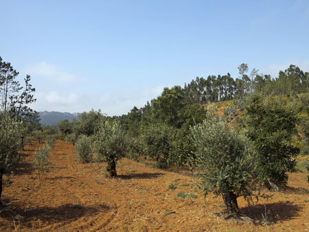 portugal agriculture: Agriculture plantation of olive trees in Central Portugal