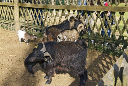 Dark bearded goat in Tierpark Schloss Rosegg