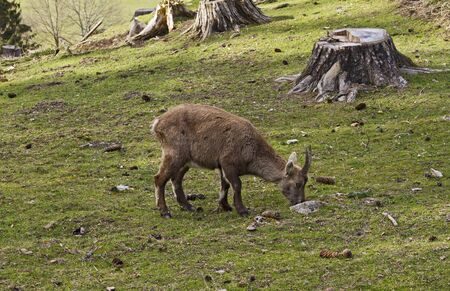 Alpine ibex grazing in Tierpark Schloss Rosegg
