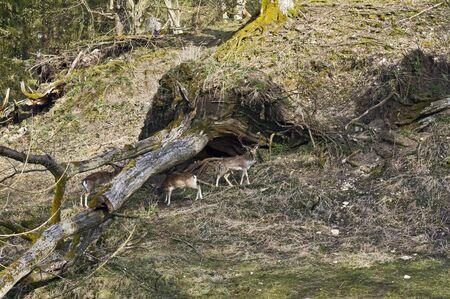 Fallow deers in Tierpark Schloss Rosegg