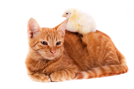 petit poussin couché sur un chat