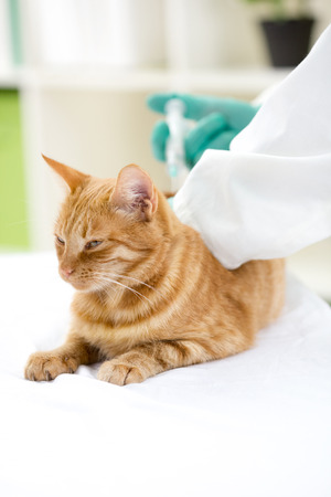 Veterinarian giving injection to a cat  photo