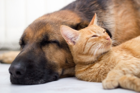 Cat and dog resting together