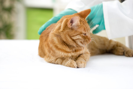 vet checks the health of a cat