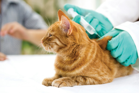 veterinary giving the vaccine to the cat Stock Photo