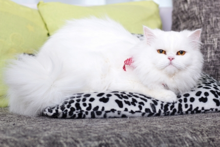 domestic adult white Persian cat