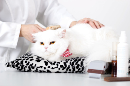 veterinarian comb the persian white cat  photo