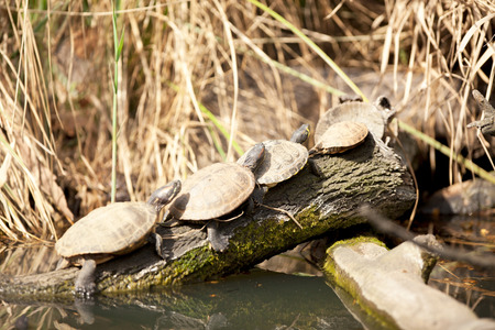 web footed: Painted Turtle Sunning on a Log