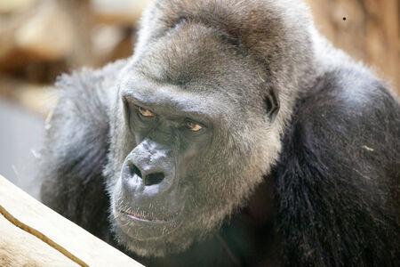 defensive posture: Male silverback gorilla at the zoo