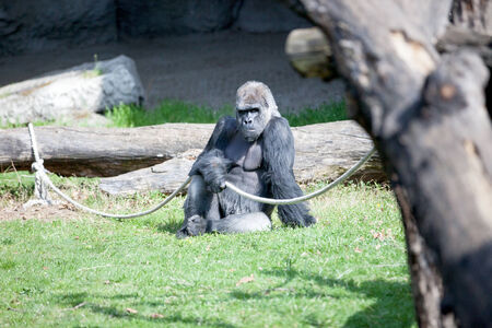 defensive posture: Male silverback gorilla at the zoo siting on green grass Stock Photo