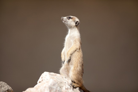 suricata suricatta: A meerkat on rock guards Stock Photo