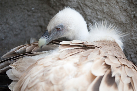 close up of griffon vulture photo