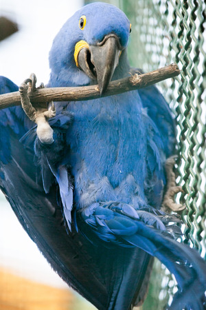 psittacidae: magnificent hyacinth macaw in zoo