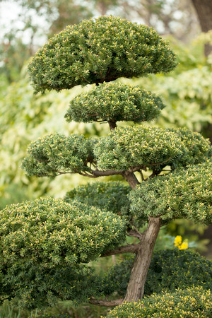 beautiful Japanese Evergreen Bonsai plant photo