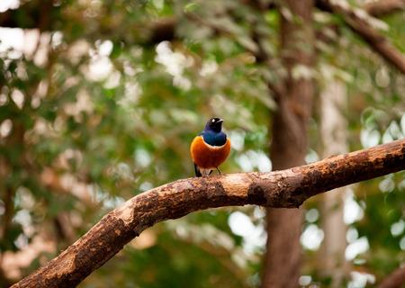 superb: Superb Starling (Lamprotornis superbus) in natural habitat