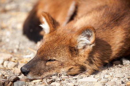 dodgy:  red fox (Vulpes vulpes) lying Stock Photo