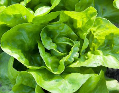 fresh lettuce with green leaf