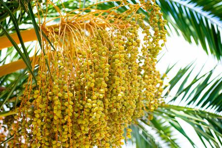 kimri: close up of green kimri dates clusters  Stock Photo