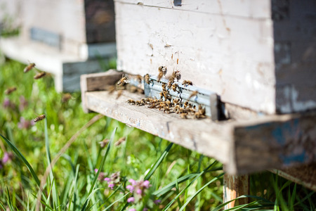 Honey bees in their beehive photo