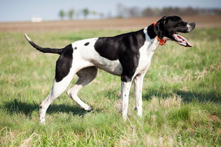 English Pointer standing on the green grass Banque d'images