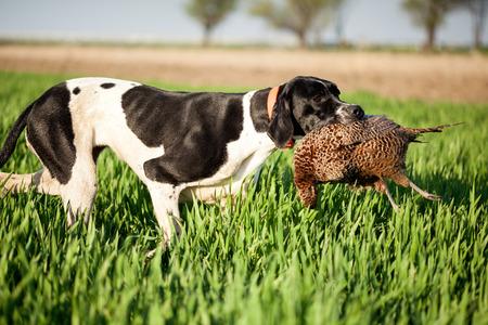 Anglais pointeur chien, faisans chassés et patron de transport Banque d'images - 39659002