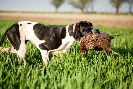 mans best friend: english pointer dog,hunted pheasants and carrying boss