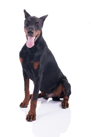 cropping: great Doberman Pinscher isolated on white background